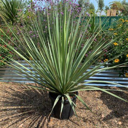 Nolina nelsonii 30 litre plant at Big Plant Nursery