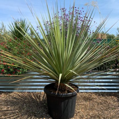 Nolina nelsonii 50 litre at Big Plant Nursery