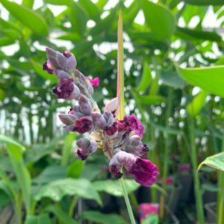 Thalia dealbata flowers at Big Plant Nursery