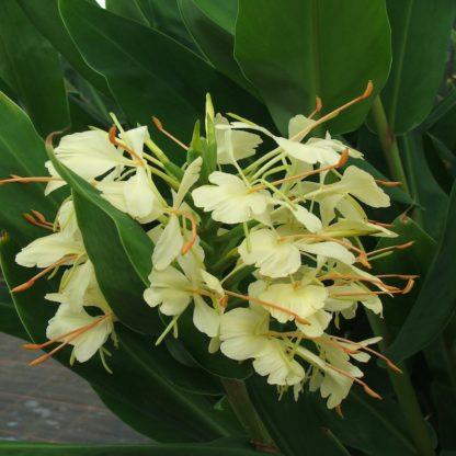 TrescoHedychium Hybrid close up of flower at Big Plant Nursery