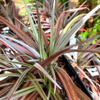 Astelia nervosa 'Red Shadow' mature plants