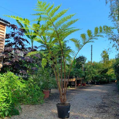Cyathea felina large plants for sale at Big Plant Nursery