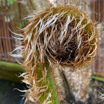 Cyathea felina new crozier unfurling at Big Plant Nursery