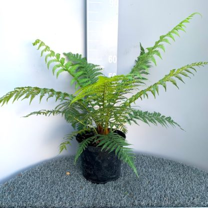 Dicksonia fibrosa 7.5 litre plant at Big Plant Nursery