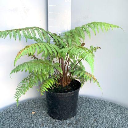 Dicksonia squarrosa 7.5 litre plant
