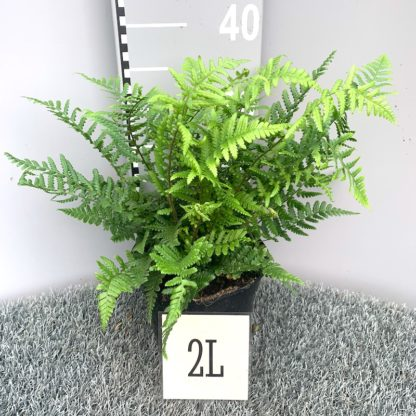 Dryopteris affinis 2 litre plant at Big Plant Nursery
