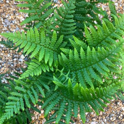 Dryopteris affinis close up of fronds at Big Plant Nursery