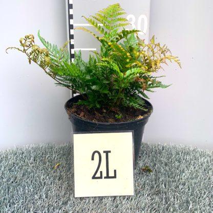 Dryopteris erythrosora 'Prolifica' 2 litre plant