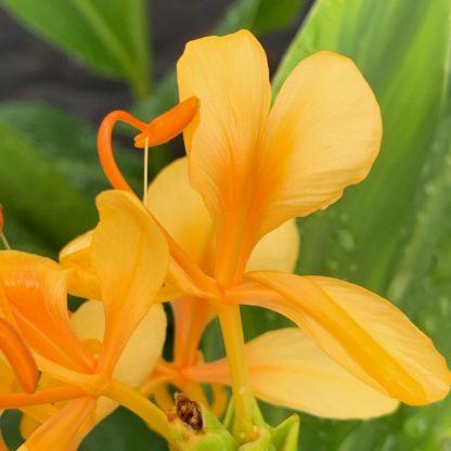 Hedychium 'Jungle Yellow' individual flower at Big Plant Nursery