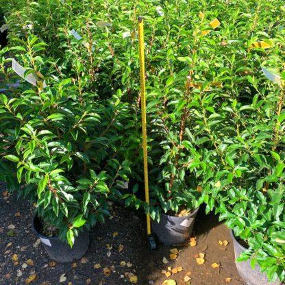 Prunus lusitanica 'Angustifolia' 10 litre plants at Big Plant Nursery