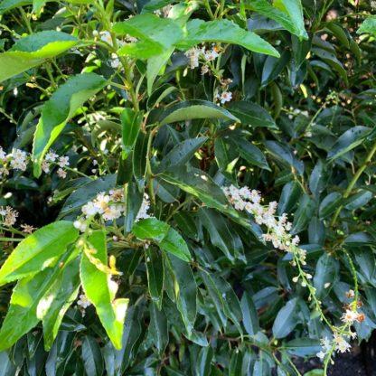 Prunus lusitanica 'Angustifolia' flowers at Big Plant Nursery