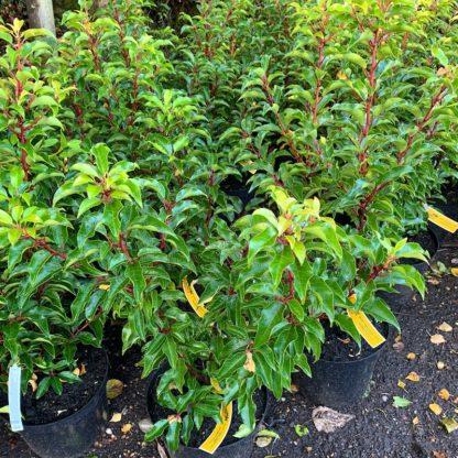 Prunus lusitanica 'Brenelia' 10 litre plant at Big Plant Nursery