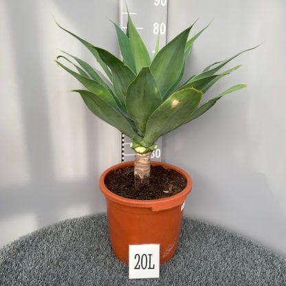 Agave attenuata 20 litre plant at Big Plant Nursery