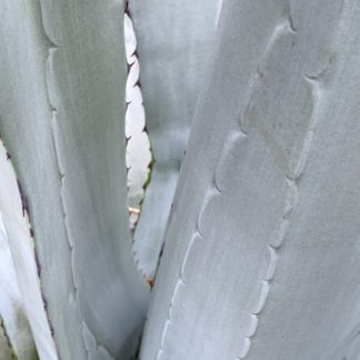 Agave franzosinii close up of leaves at Big Plant Nursery