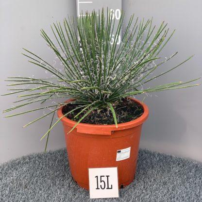 Agave geminiflora 15 litre plant at Big Plant Nursery