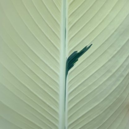 Canna 'Stuttgart' showing detail of a mainly white leaf