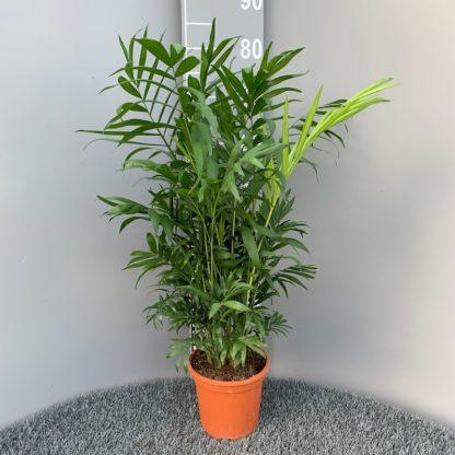 Chamaedorea elegans 2/3 litre plant for sale at Big Plant Nursery