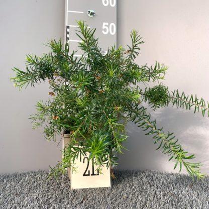 Grevillea juniperina 'Canberra Gem' 2 litre plant at Big Plant Nursery