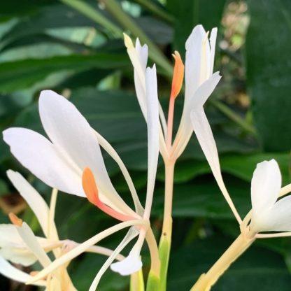 Hedychium yunnanense close up of flower at Big Plant Nursery