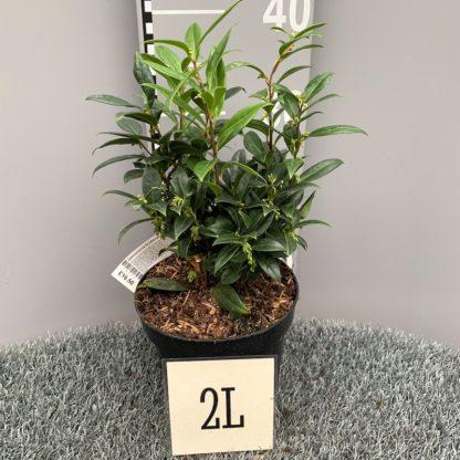 Sarcococca hookeriana 'Humilis' 2 litre plant at Big Plant Nursery