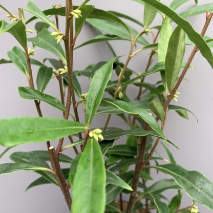 Sarcococca hookeriana var. digyna 'Purple Stem' close up of leaves and stems showing flower buds at Big Plant Nursery