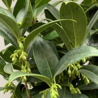 Sarcococca 'hookerianus'Humilis' close up of flower buds at Big Plant Nursery