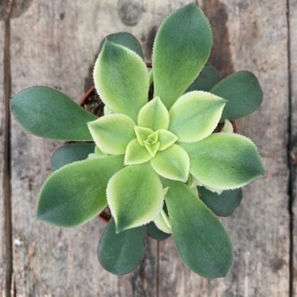 Aeonium haworthii 'Kiwi'