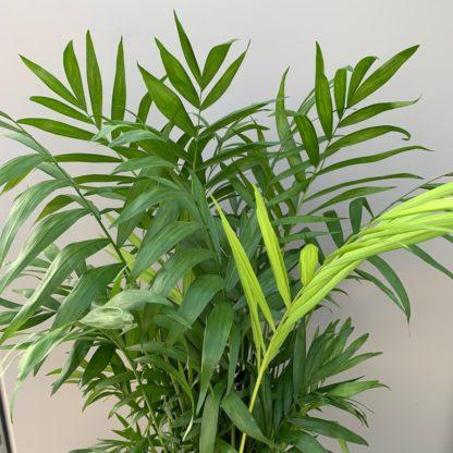 Chamaedorea elegans close up of leaves at Big Plant Nursery