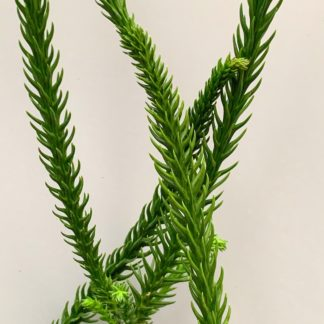 Cryptomeria japonica 'Araucarioides' close up of stems at Big Plant Nursery