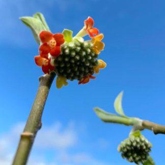 Edgeworthia chrysantha 'Akebana' flower at Big Plant Nursery