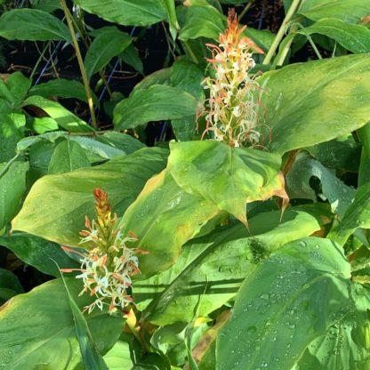 Hedychium griffithianum mature plants growing at Big Plant Nursery