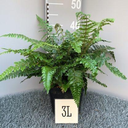 Polystichum neolobatum 3 litre plant at Big Plant Nursery