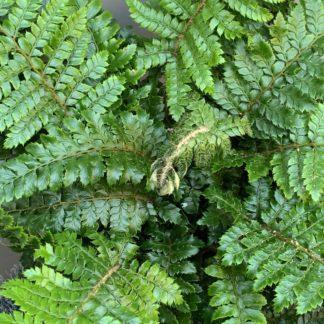 Polystichum neolobatum close up of crown at Big Plant Nursery
