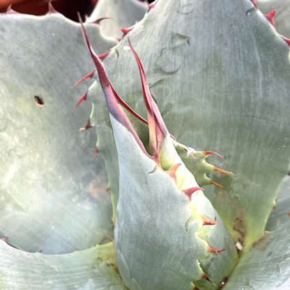 Agave 'Blue Brian' close up of purple spines on young plant