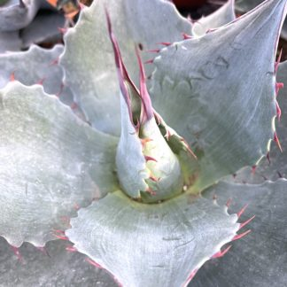 Agave 'Blue Brian' growing point showing leaf and spine colour on young plant at Big Plant Nursery