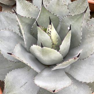 Agave ovatifolia 'Emerald' mature plant at Big Plant Nursery