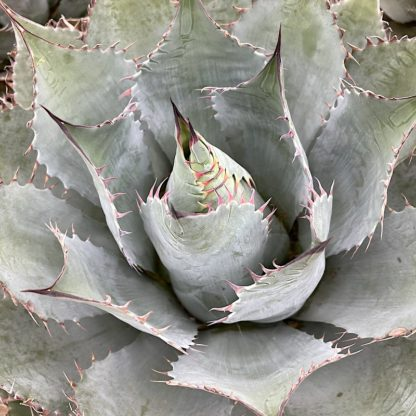 Agave parrasana 'Meat Claw' mature plant