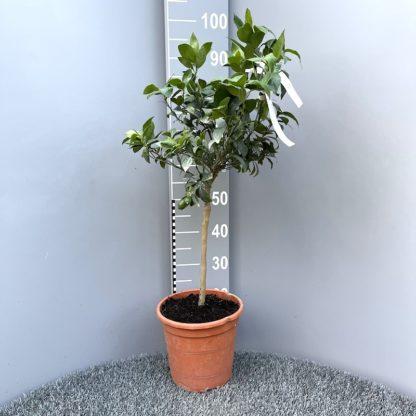 Citrus citrofortunella sp. Lakeland 6 litre plant at Big Plant Nursery