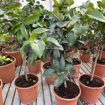 Citrus latifolia plants at Big Plant Nursery