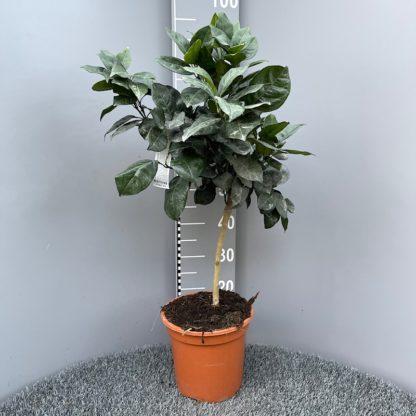 Citrus sinensis 6L plant at Big Plant Nursery
