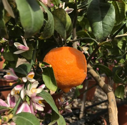 Citrus sinesis Orange showing fruit and flower