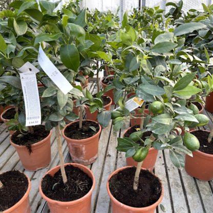 Citrus x citrofortunella sp.Lakeland 6 litre plants at Big Plant Nursery