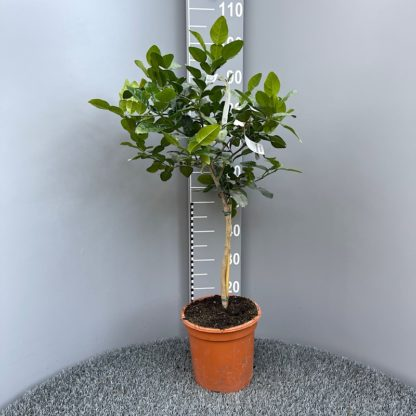 Citrus hystrix Kaffir Lime 6 litre plant