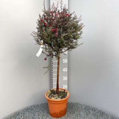 Leptospermum 'Red Damask' 7 litre plant at Big Plant Nursery