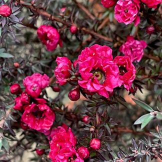 Leptospermum 'Red Damask' close up of flowers at Big Plant Nursery