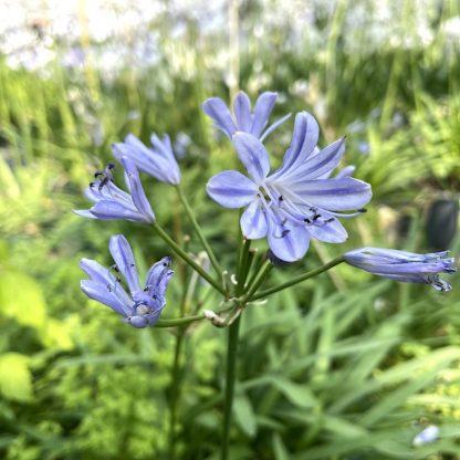 Agapanthus 'Blue Storm' in flower at Big Plant Nursery