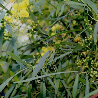 Acacia retinoides flowers and foliage at Big Plant Nursery