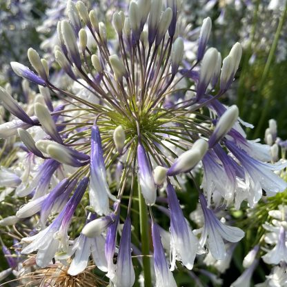 Agapanthus 'Fireworks' close up of flowers at Big Plant Nursery