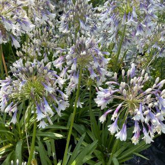 Agapanthus 'Fireworks' flowers at Big Plant Nursery