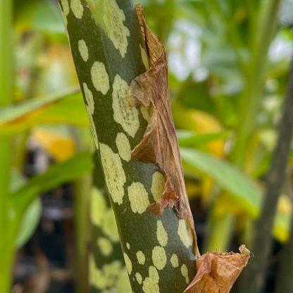Amorphophallus napalensis leaf petiole at Big Plant Nursery